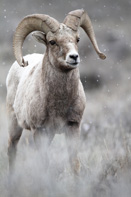 Big-Horn-Sheep-1-TimothyCMayo