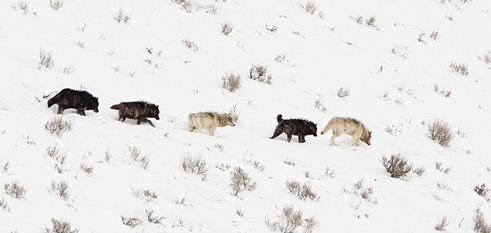 YellowstoneWolves_WillSeastian-Flickr-CreativeCommons